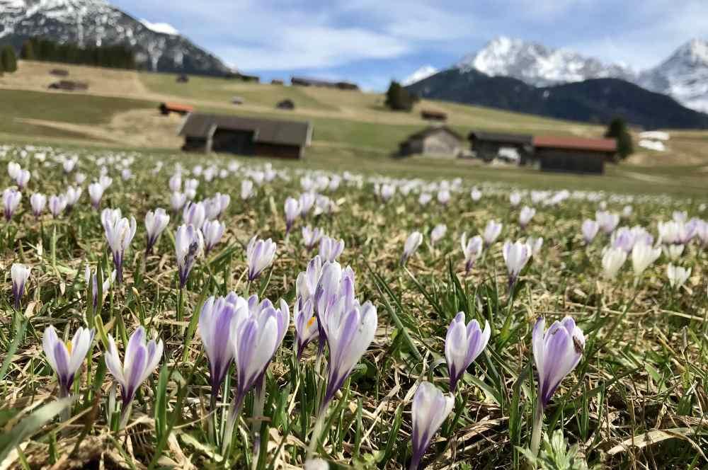 Im Frühling sind das tolle Bayern Reiseziele: Die Krokuswiesen mit dem Karwendel