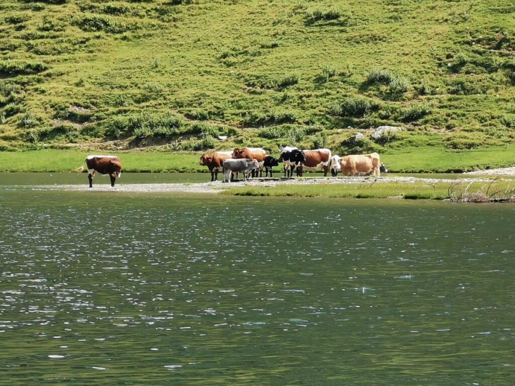 Almsommer am Tappenkarsee - die Kühe genießen die Zeit auf der Alm